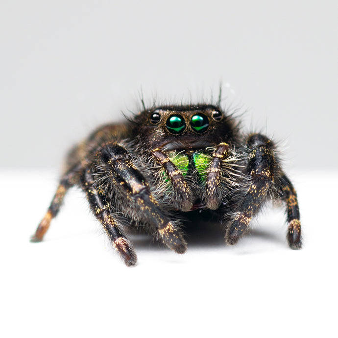 Live Adult Bold Jumping Spider (Phidippus audax)