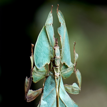 Load image into Gallery viewer, Leaf Insects