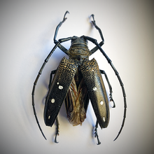 Load image into Gallery viewer, Flat-faced Longhorn Beetles