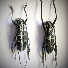 Load image into Gallery viewer, Long-horn Beetle