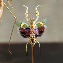 Load image into Gallery viewer, Mantises