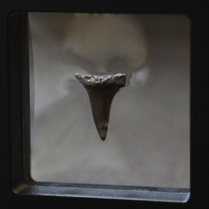 Great White Shark Fossilized Tooth // Micro