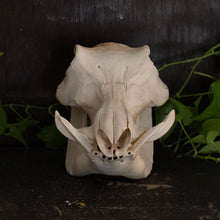 Load image into Gallery viewer, African Warthog Skull