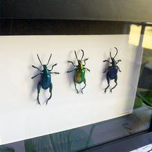 Load image into Gallery viewer, Frog-legged Leaf Beetle