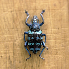 Load image into Gallery viewer, Blue Banded Snout Weevil // Micro