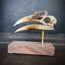 Load image into Gallery viewer, White-thighed Hornbill Skull