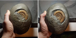 Fossil preparation of an Arnioceras ammonite from Charmouth, UK