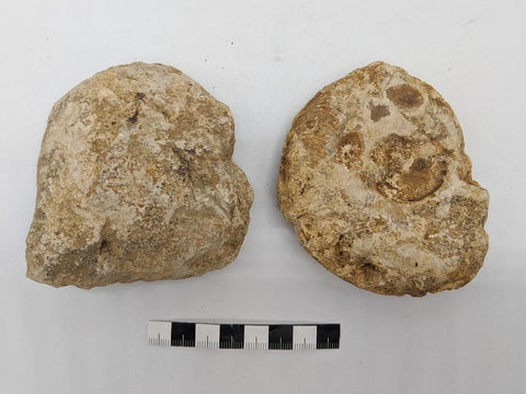 Hildoceras and Harpoceras, Ilminster, Somerset, UK (x3) 004 - ZOIC PalaeoTech