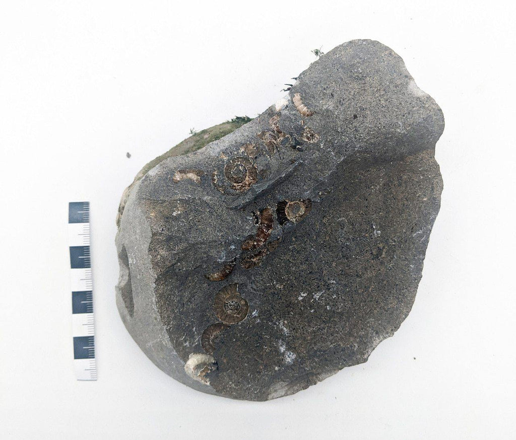 Promicroceras Multiblock with Wood, Charmouth, UK 023 - ZOIC PalaeoTech
