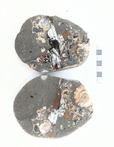Multiple Xipheroceras and Wood, Charmouth, Dorset, UK 08 - ZOIC PalaeoTech