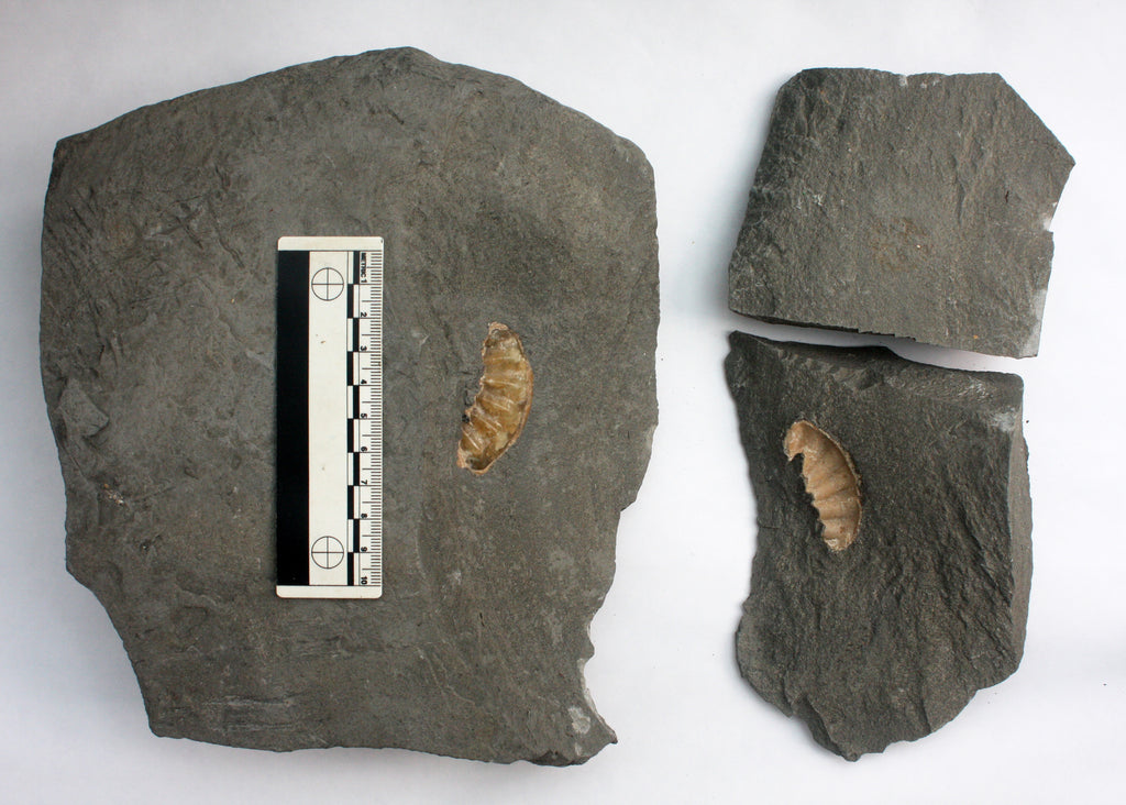 Large Asteroceras (100mm?), UK 107