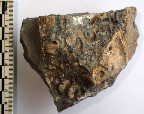 Promicroceras Multi Bed , Charmouth, UK 104 - ZOIC PalaeoTech