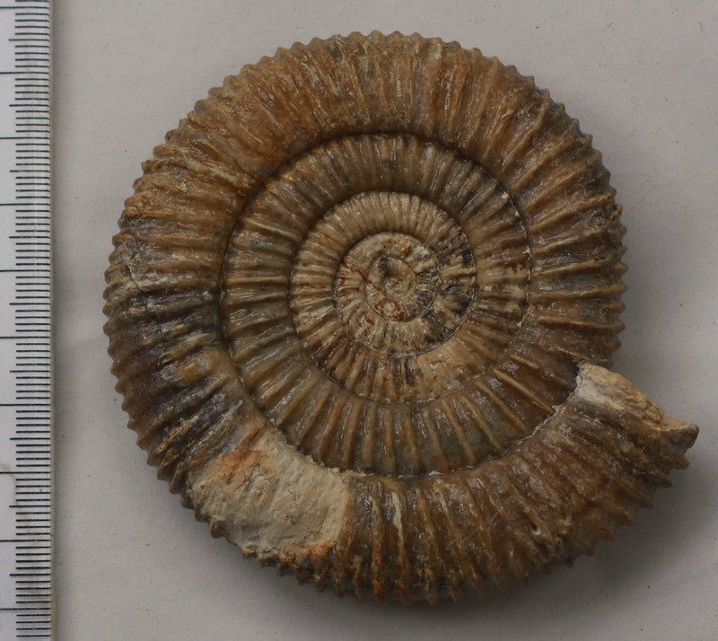 Crystalline ammonite fossil prep using air abrasive and air pen and acid from Ilminster