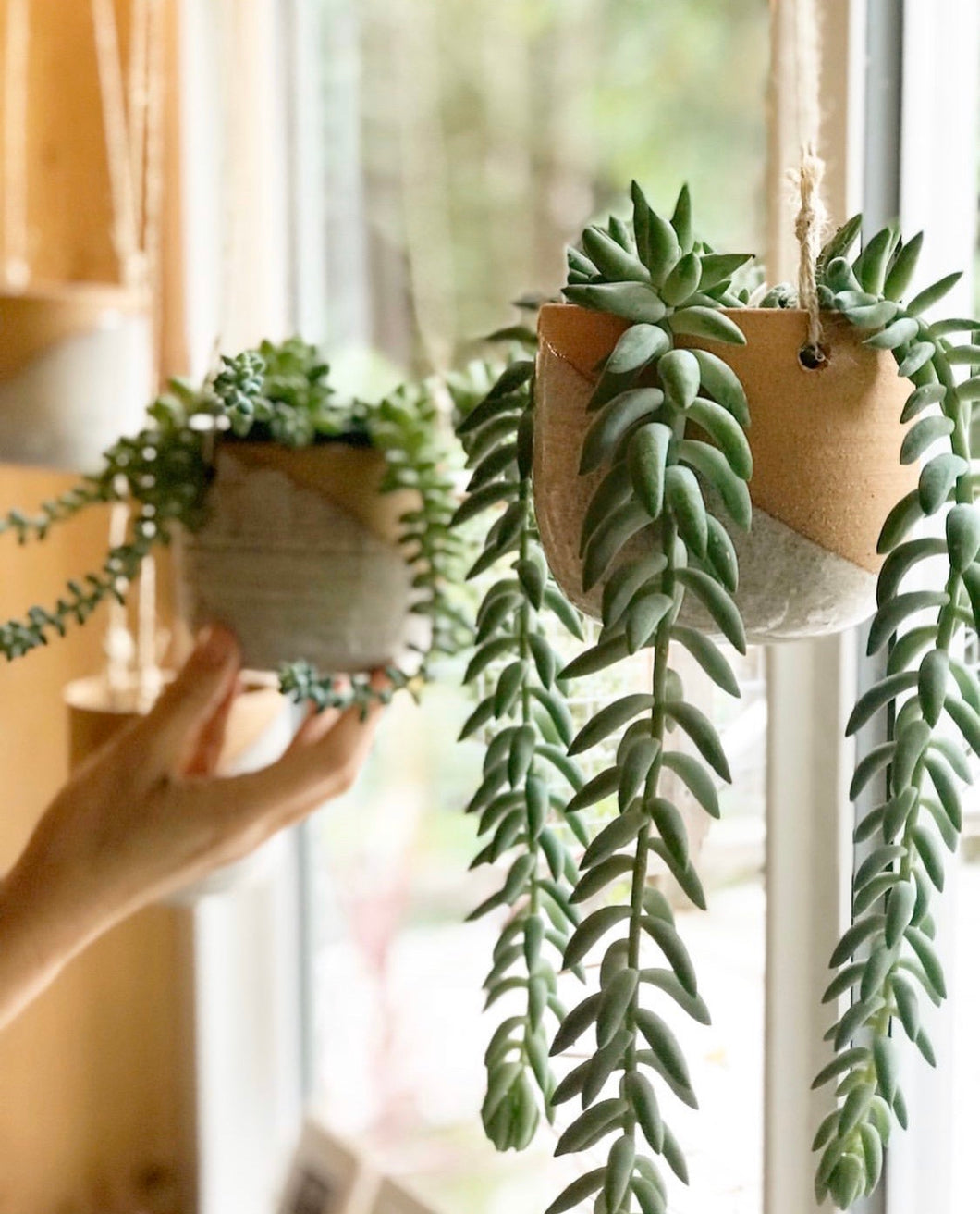 pottery hanging planters, hanging in the window, planted with succulents, burrow's tail