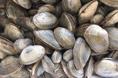 MiddleNeck Clam