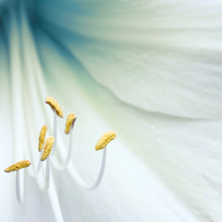 White Star Lily Flower