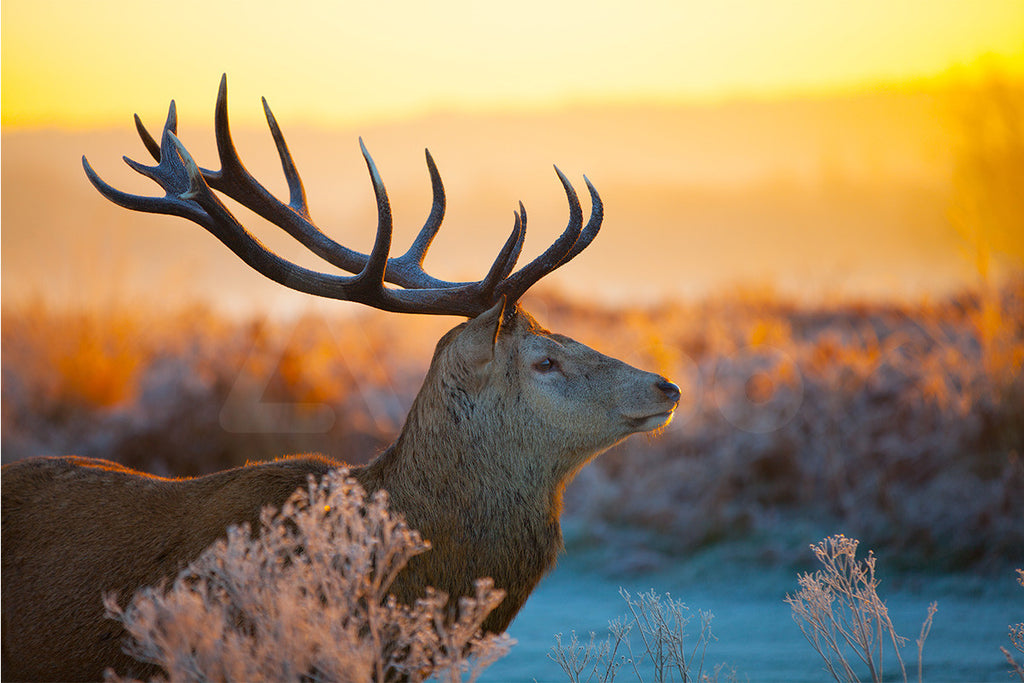 公鹿與曙光  Red Deer in Morning Sun