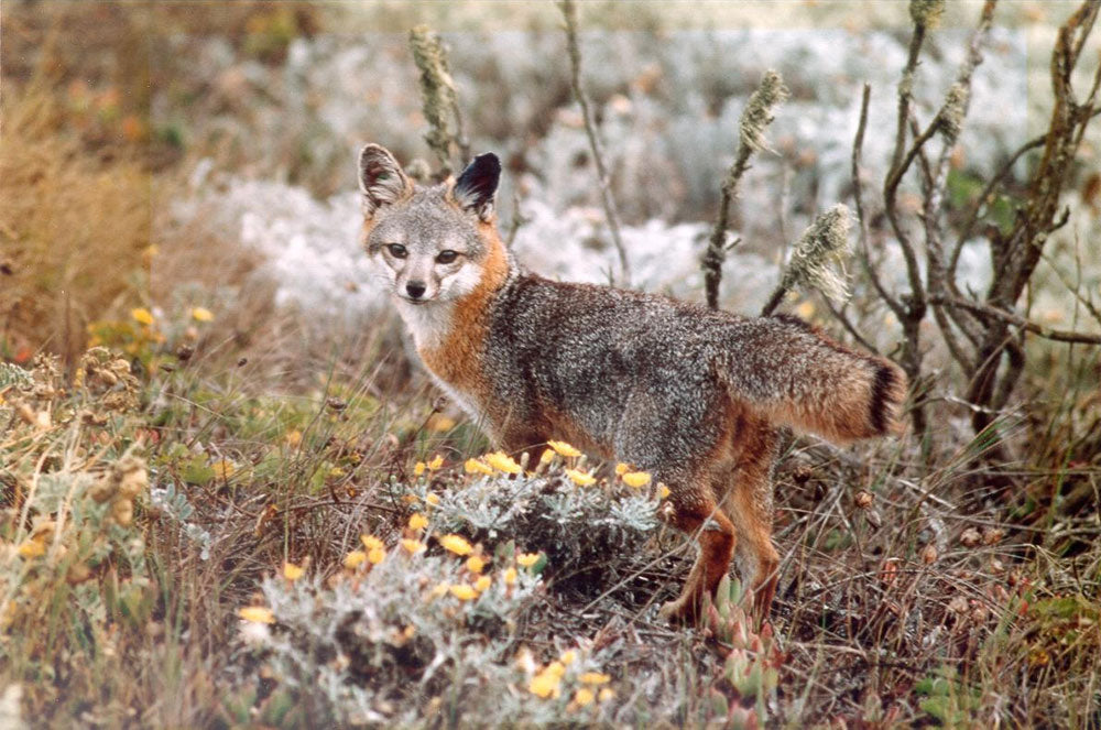 Channel Islands Fox | Channel Islands National Park
