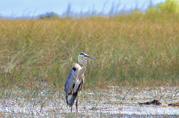 Everglades, Heron | National Park Posters
