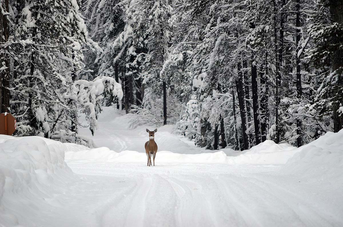 Deer in Snow, Glacier National Park