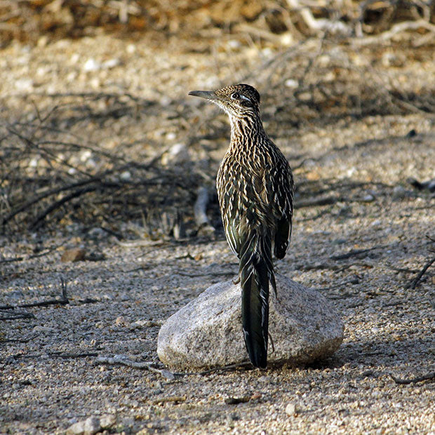 Joshua Tree National Park | Roadrunner