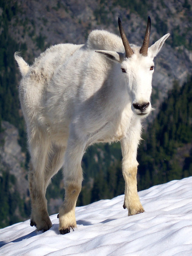 Mountain Goat, North Cascades | National Park Posters