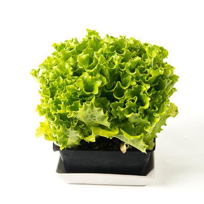 Organic Living Lettuce - Green Leaf
