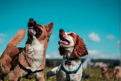 All about protein supplements for dogs