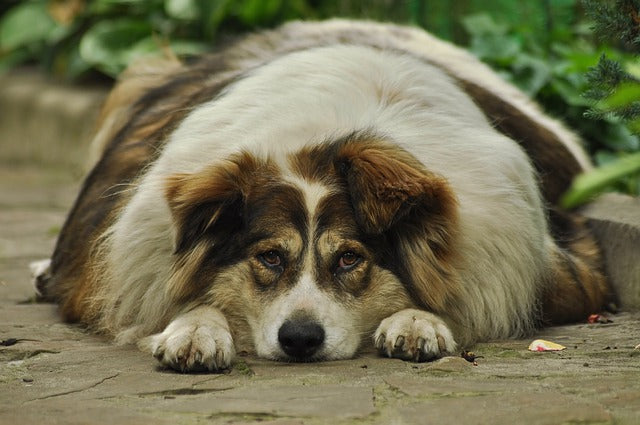 What are the Causes of Dog Obesity