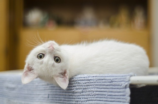 Common cat hair loss treatments and remedies