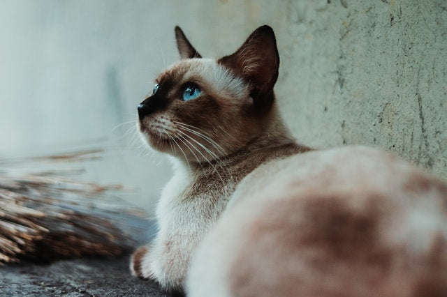 Siamese cats are mostly likely to suffer allergies