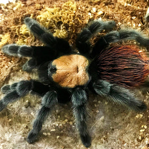 Brachypelma albiceps - Unsexed - Mexican Golden Red Rump Tarantula - Pure Blood