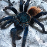 Chromatopelma cyaneopubescens - Unsexed - Green Bottle Blue Tarantula