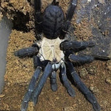 Cyriopagopus hati hati - Unsexed - Purple Earth Tiger Tarantula
