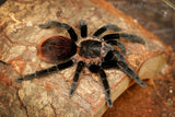 Tliltocatl vagans - Suspect Female (80% Likely) - Mexican Red Rump Tarantula