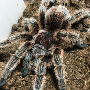 Grammostola porteri - Female - Chilean Common Rose Hair Tarantula
