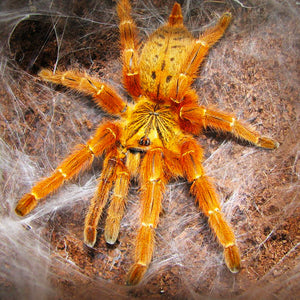 Pterinochilus murinus - Unsexed - Orange Baboon Spider