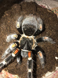 Brachypelma auratum - Unsexed - Mexican Flame Knee Tarantula - Pure Blood