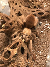 Aphonopelma chalchodes - Female - Arizona Blond Tarantula