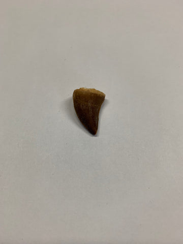 Mosaur tooth - Small 1