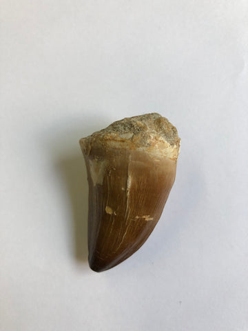 Mosaur tooth - X Large 1
