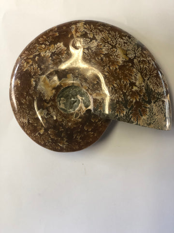 Ammonite Polished - Medium