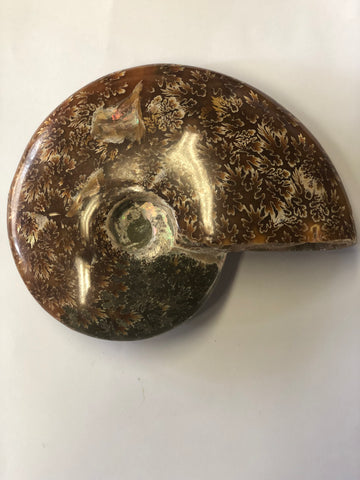 Ammonite Polished - Large