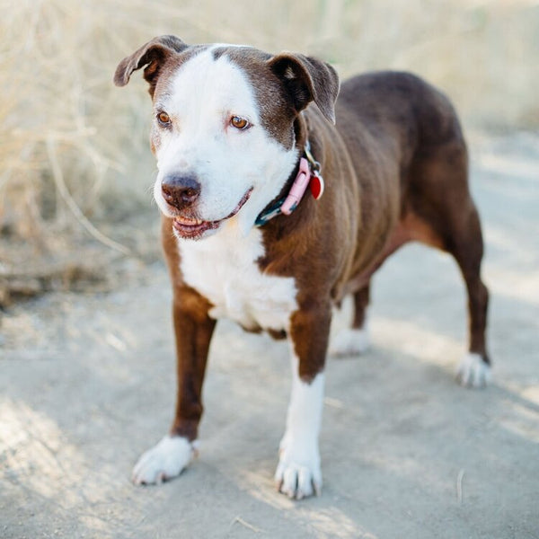 Photo of Ruby Tuesday adoptable dog