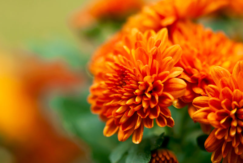 Feature Flower Chrysanthemum - from Garden of Eden Flower Shop