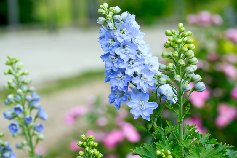 Feature Flower Delphinium - from Garden of Eden Flower Shop