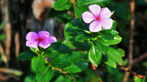 Feature Flower Friday: Periwinkle Flower