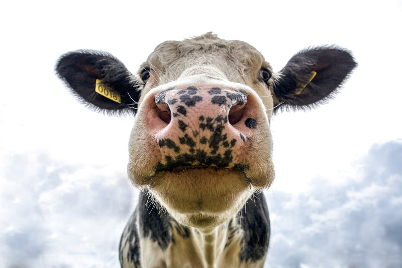 "Tip of the Week: A ""Moo"" Way to Fertilize"