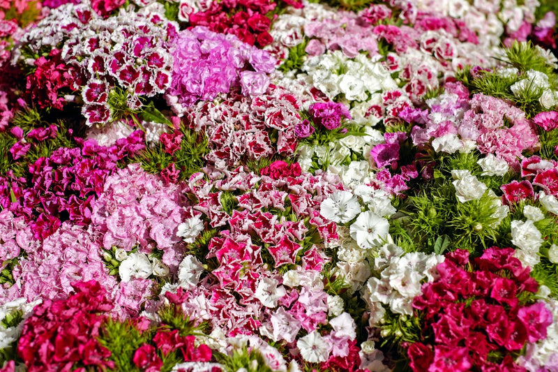 Feature Flower Friday: Carnations