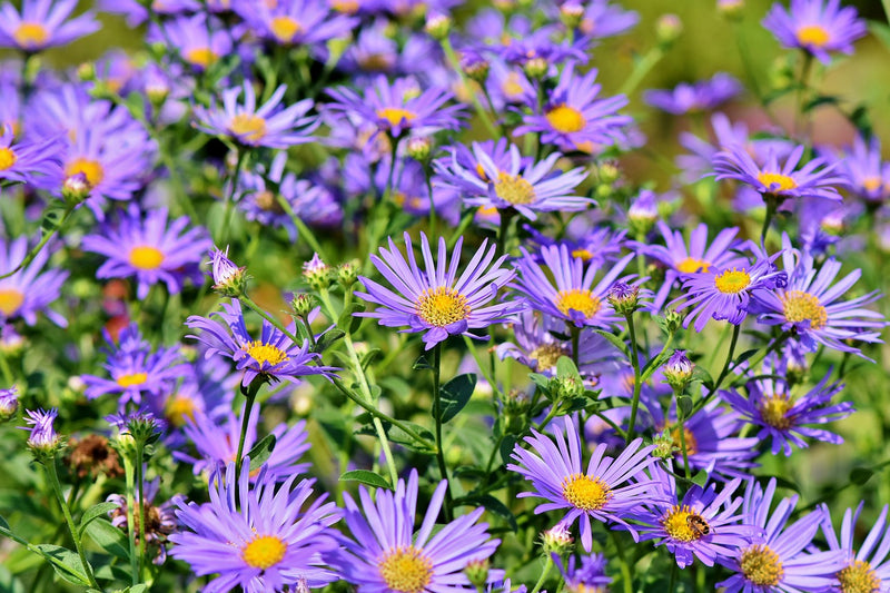 Feature Flower Friday:  the Aster - from Garden of Eden Flower Shop